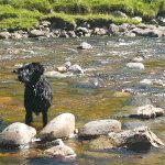 Flatcoated retriever training
